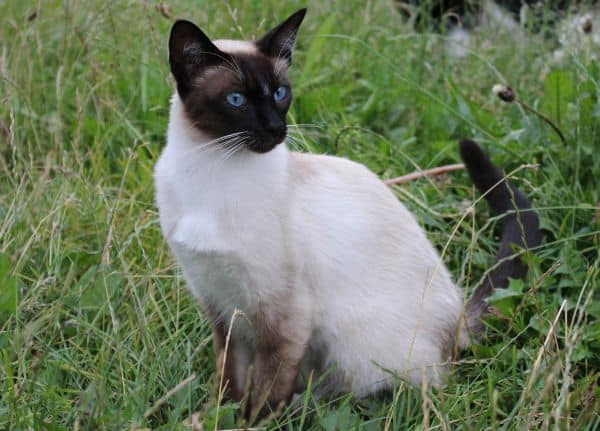 Can Siamese Cats Go Outside? On lawn