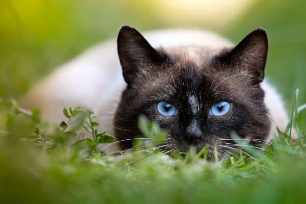 Are Siamese cats mean? Cat crouching