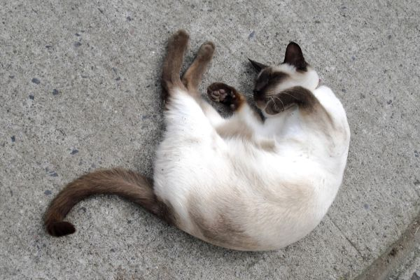 Why is my Siamese cat so small?  Siamese curled up