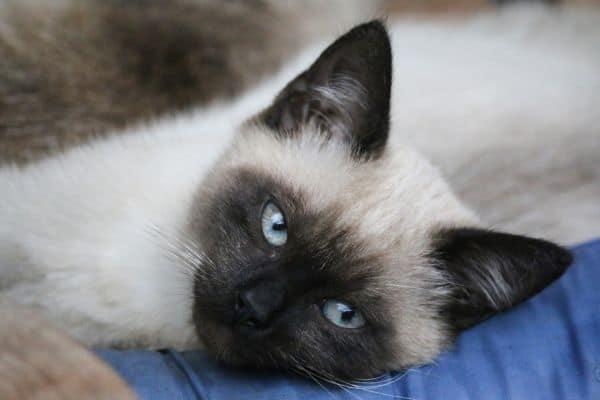 Siamese cat face