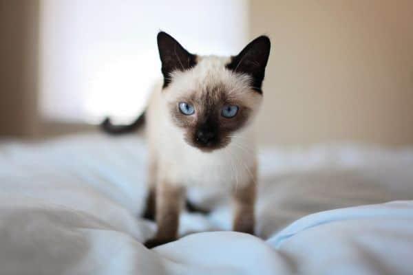 Siamese kitten on a bed