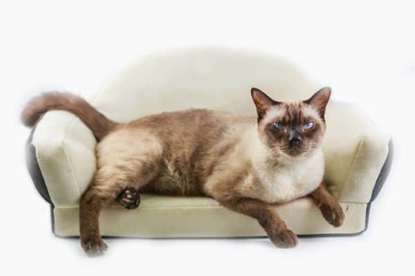 Are Siamese cats affectionate? Siamese cat on a cat sofa