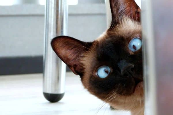 Siamese cat squinting