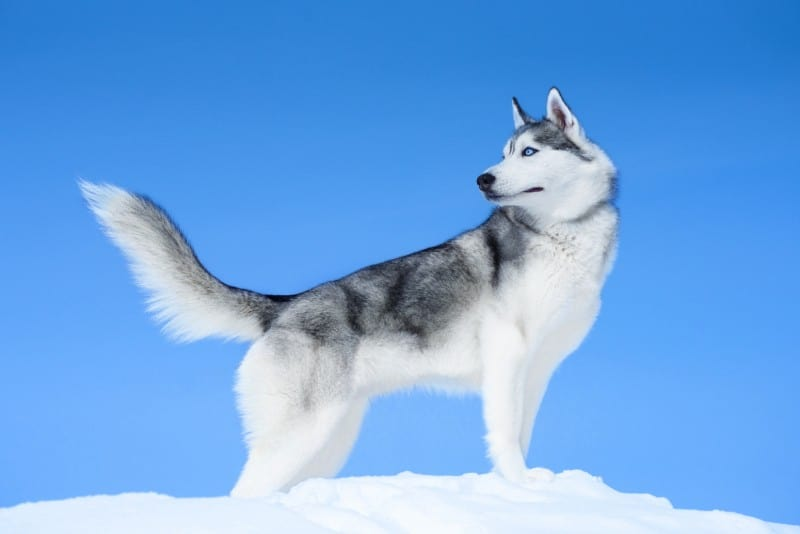 Reasons to Own a Siberian Husky