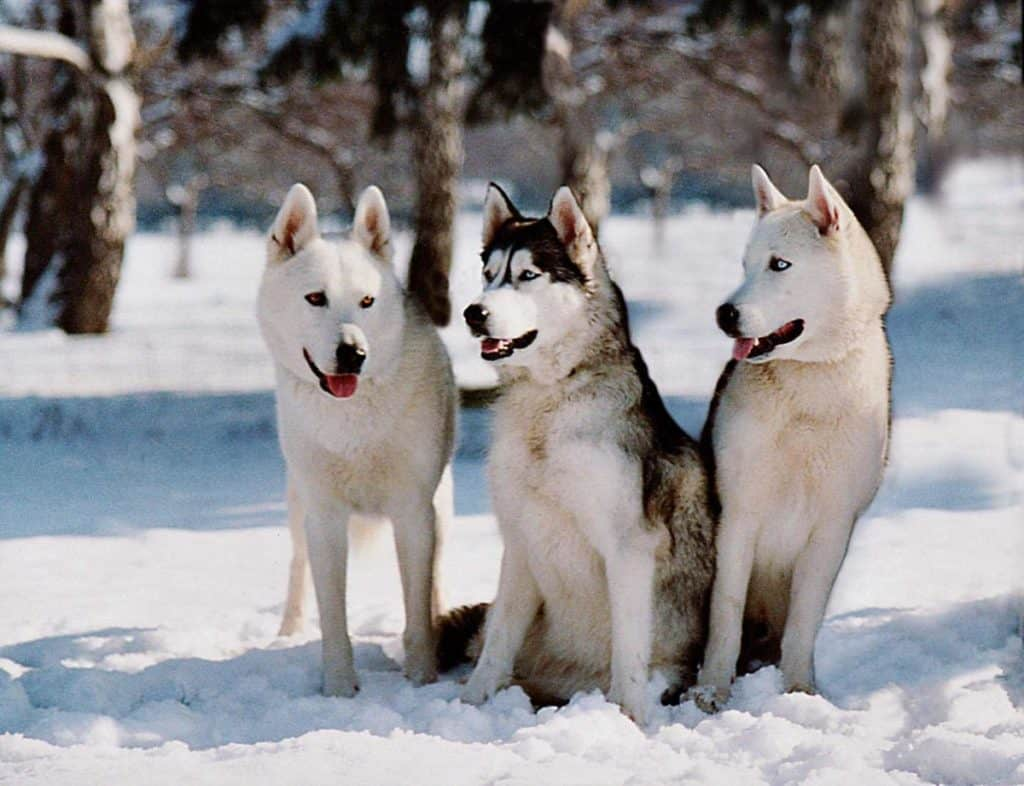Myths About the Siberian Husky
