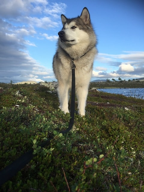 Siberian Husky vs Alaskan Malamute