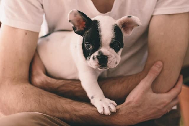 Why is my French Bulldog shaking? Frenchie having cuddle