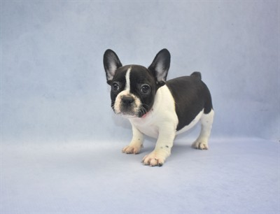 The picture above is of a Black and white French Bulldog
