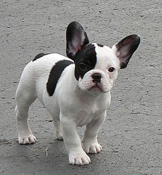 Black and white French Bulldog.