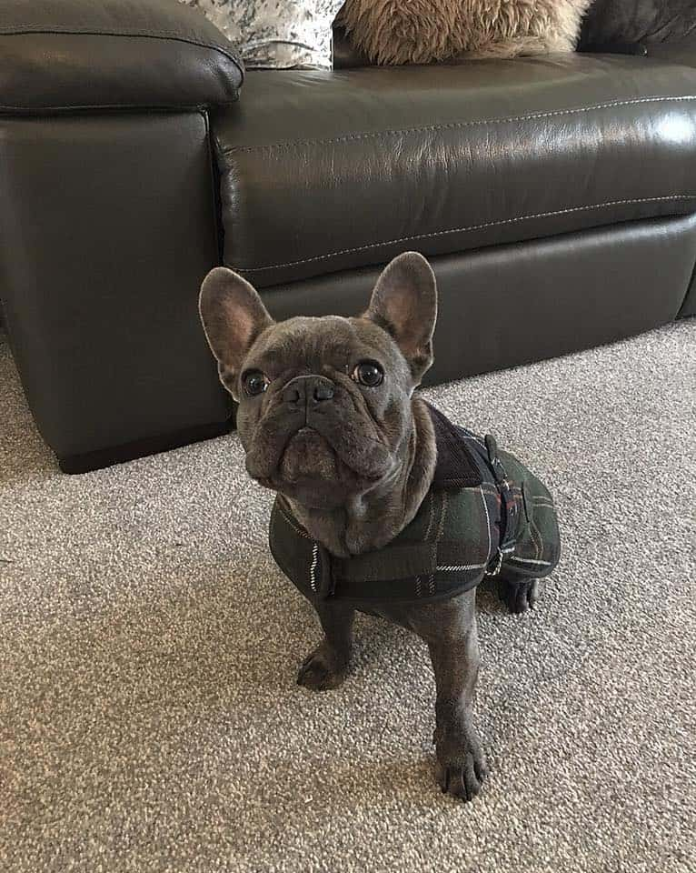 Blue Brindle French Bulldog.