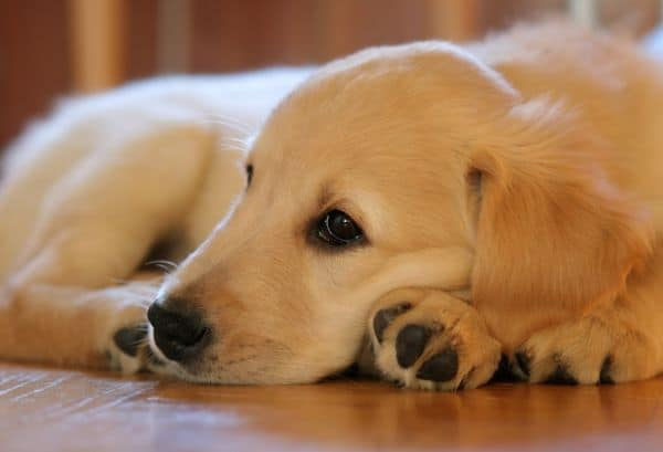 Bored Labrador