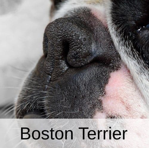 Boston Terrier vs French Bulldog Differences