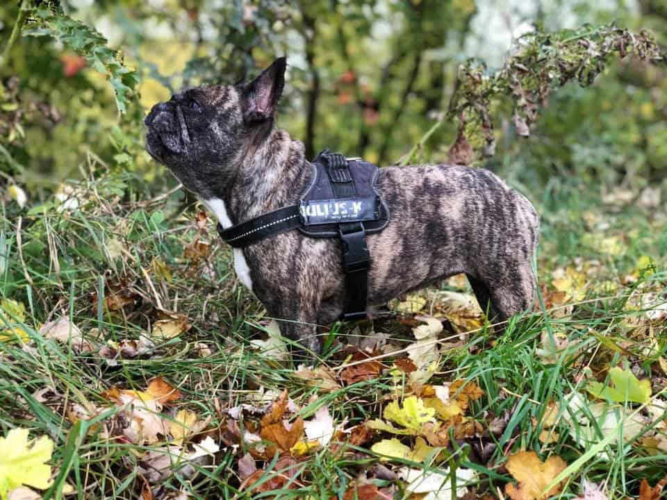 Brindle French Bulldog.