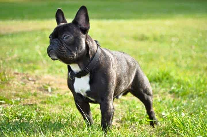 Brindle and white French Bulldog.