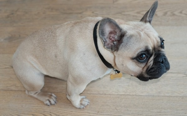 Ways to Make Your French Bulldog Happy