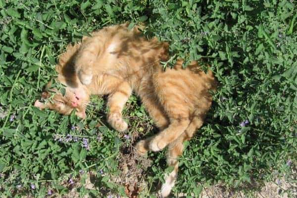 Cat asleep in catnip