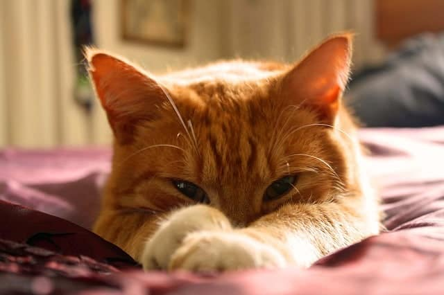 Ginger cat with paws in front of face