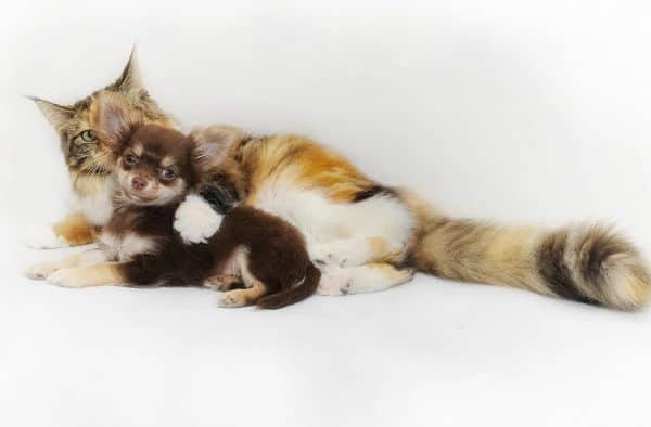 Chihuahua and cat