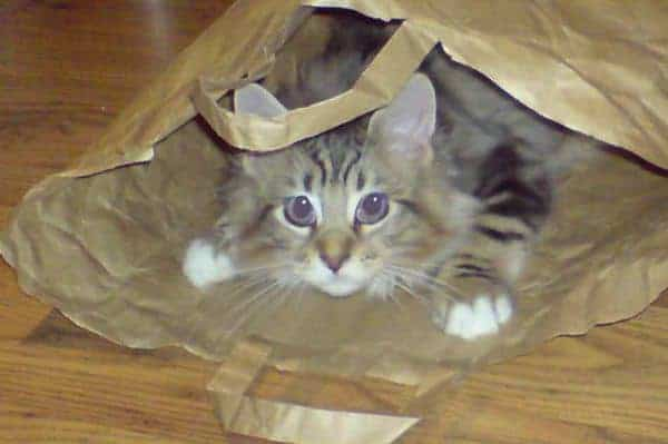 Why Do Cats Like Boxes? Cat in  paper bag