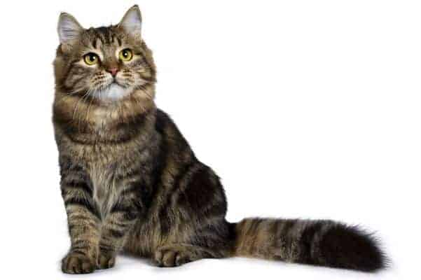 Brown classic tabby cat