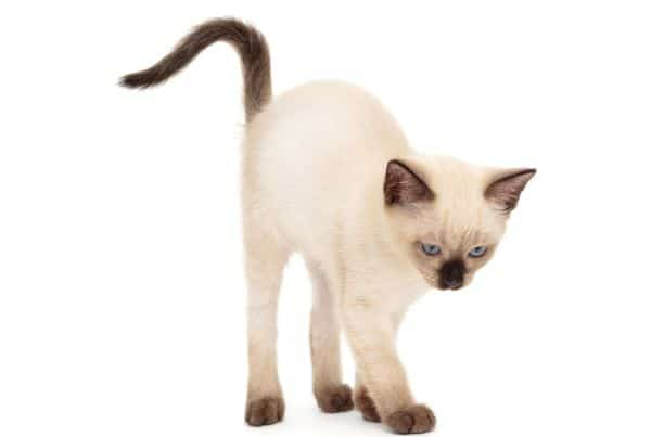 Do Siamese cats change color? Kitten