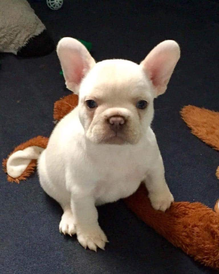 The picture above is of a Cream French Bulldog pup