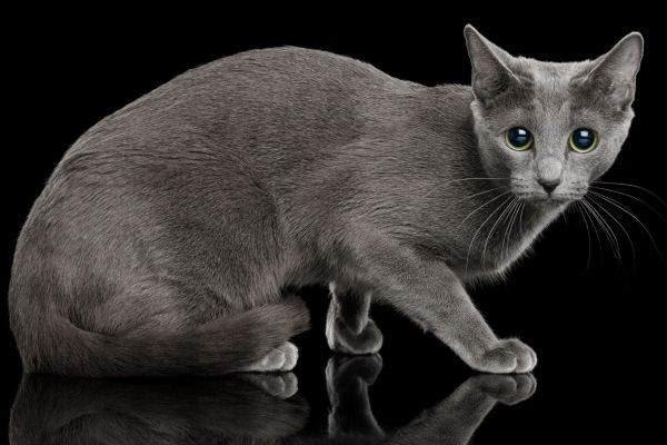 Grey cat crouching low