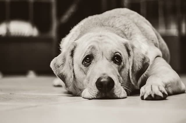 Why are Labradors prone to ear infections?