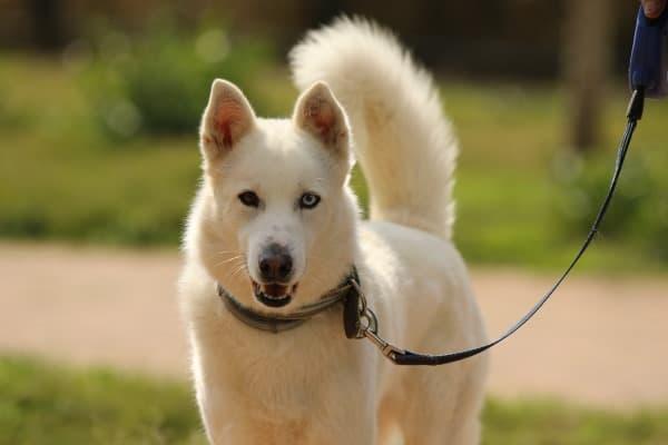House Training a Siberian Husky Puppy