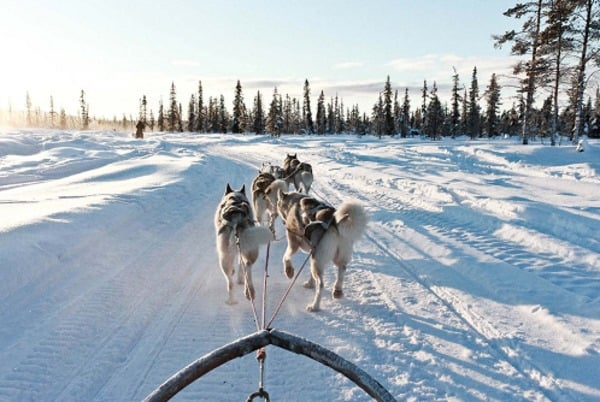 Are Siberian Huskies loyal?