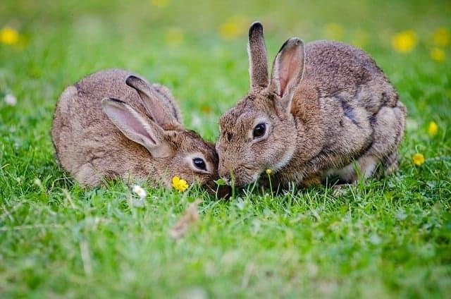 Rabbits should eat plenty of grass and a few strawberries