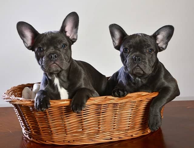 How To Buy a French Bulldog: puppies in basket