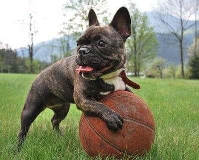 Is The French Bulldog Right for Me?