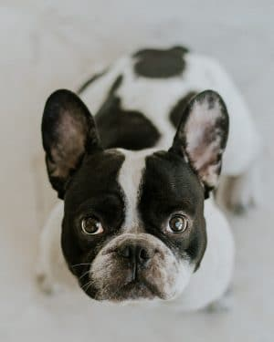 When will my French Bulldog's head grow?