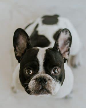 When will my French Bulldog's head grow?