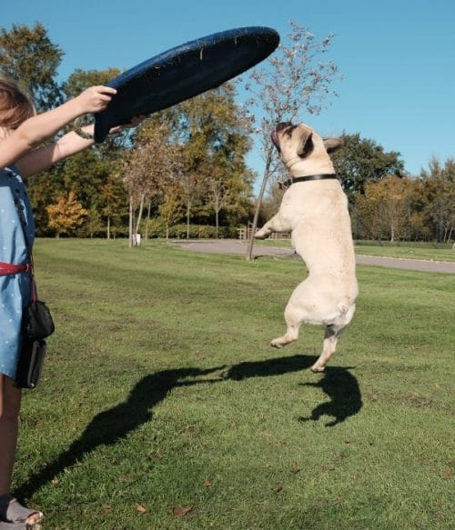 Things To Know Before Buying a French Bulldog: Frenchie jumping