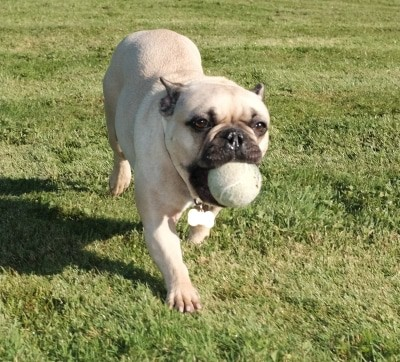 Reasons Why I Love My French Bulldog