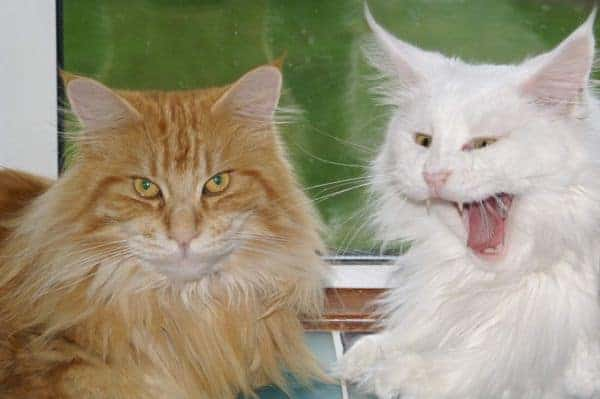 White Maine Coon and red tabby Maine Coon