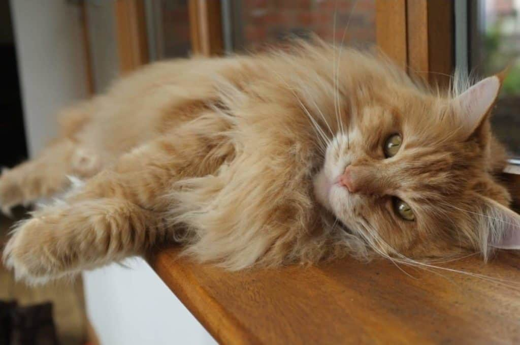 Red Maine Coon on window ledge