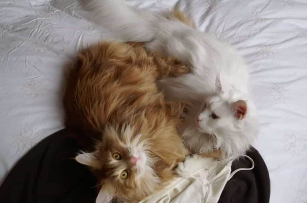 Are Maine Coons Independent?