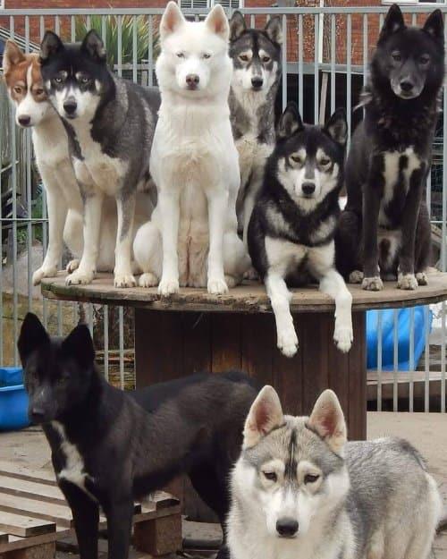 Do Siberian Huskies Get Along With German Shepherds?