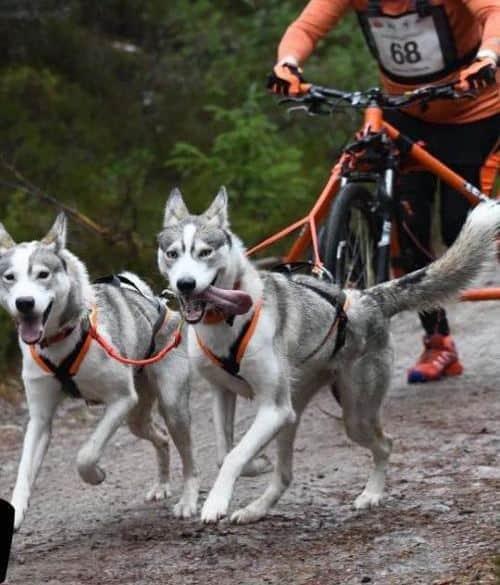 How Far Can A Siberian Husky Run?