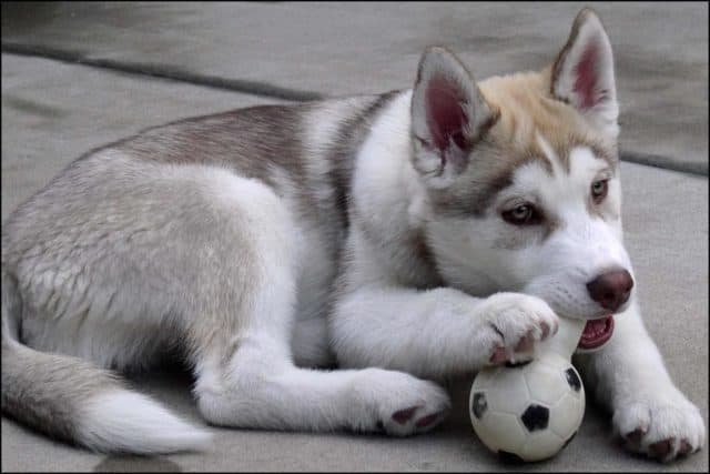 A husky pup chewing a toy.