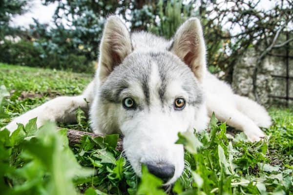 Can you have a Siberian Husky in Florida?