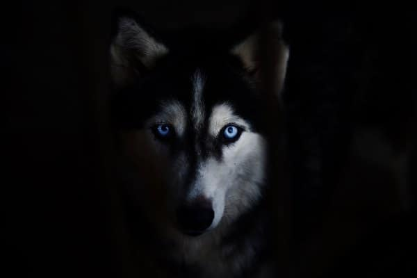 Husky face