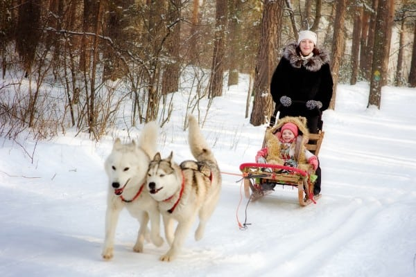 How much can a Siberian Husky pull?