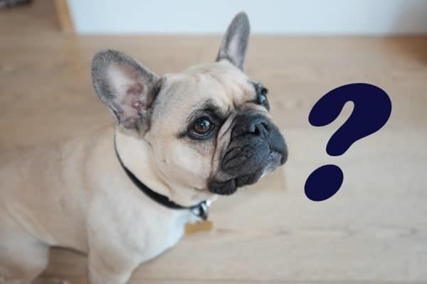 Why are French Bulldogs expensive?