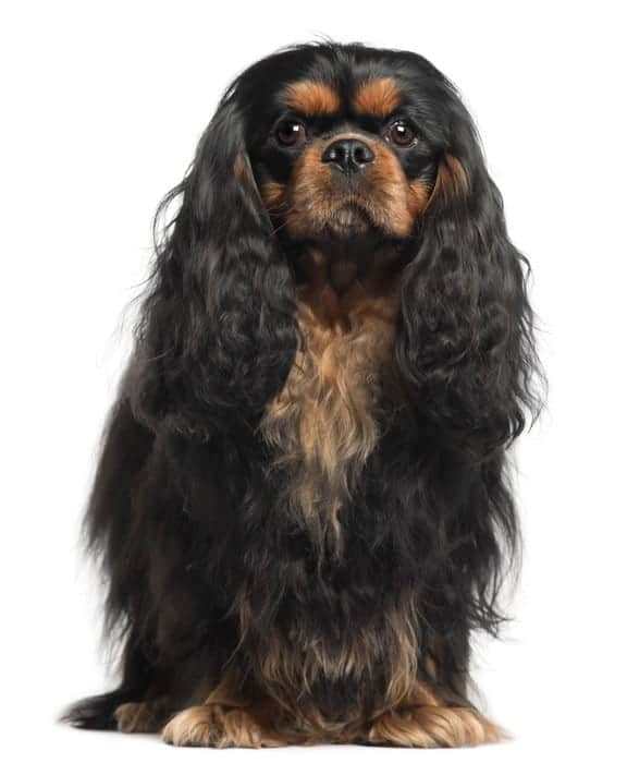 What is a Cavalier King Charles Spaniel lifespan?