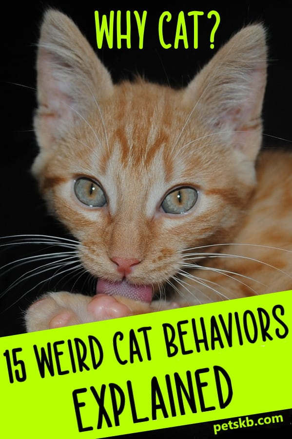 Weird cat behaviors explained
