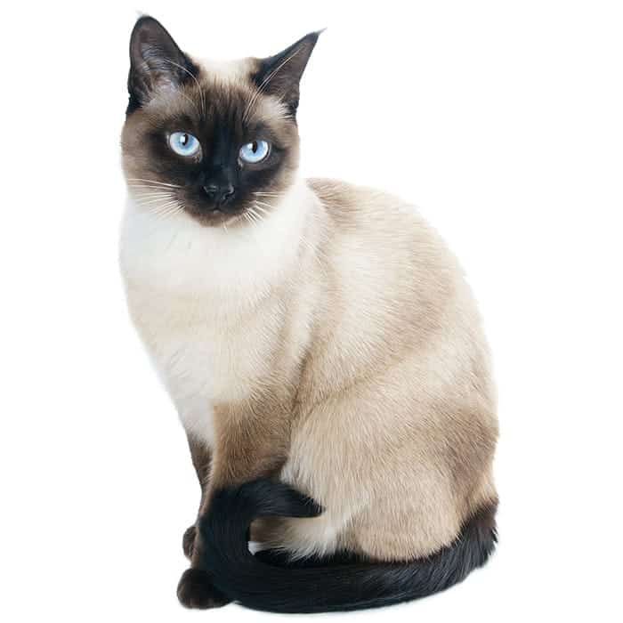 What is the most loving cat breed?